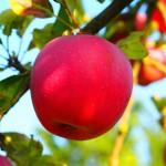 apple-694004_1280