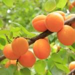 peaches-824626_1280