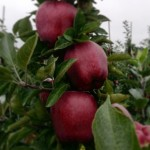 Apple Camspur - DANIEL Nursery