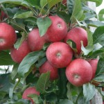 Apple Elstar - DANIEL Nursery