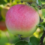 Apple Geneva Early - DANIEL Nursery