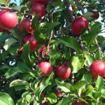 Apple Idared -Daniel Nursery