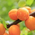Apricot Somo