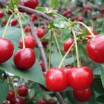 Cherry Amarelle Szklanka