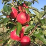 Jabłoń Gala - Szkółka DANIEL