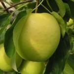 Jabłoń Golden Delicious - Szkółka DANIEL
