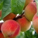 Peach Royalvee