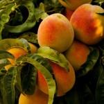 Peach Velvet