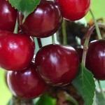 Sweet cherry Kordia
