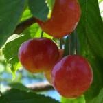 Sweet cherry Vega