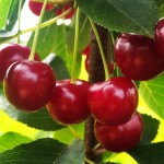 Cherry Bunched of Ujfehertoi