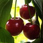 Cherry Pandy 103