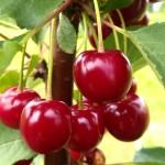 Cherry Sabina