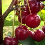 Cherry Wanda