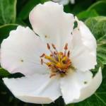 Kwiat Pigwy Wielkoowocowej