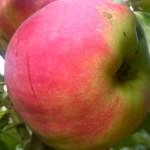 Apple Early Geneva