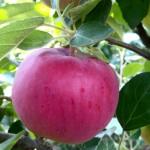 Apple Julyred