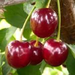 Cherry Nefris