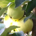 Stara odmiana jabłoni Papierówka