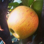 Apple Golden Reinette Gold Russet