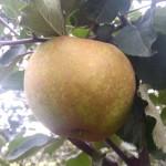 Apple Grey Reinette Graue Renette Grey Russet