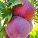 Apple Lobo