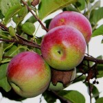 Jabłoń Cortland