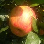 Jabłoń Honeygold