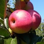 Jabłoń Katja