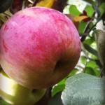 Jabłoń Novamac
