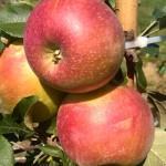 Jabłoń Wuelsa (Wealthy)