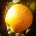 Jabłoń Złota Reneta Królowa Renet