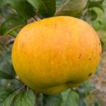 Jabłoń Boiken