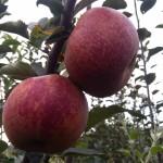 Jabłoń Red Boskoop stare odmiany jabłoni