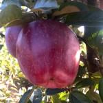 Jabłoń Starking