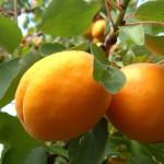 Apricot Goldrich