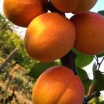 Apricot Hargrand