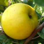 Jabłoń Ananas Berżenicki stara odmiana jabłoni