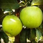 Jabłoń Granny Smith zielone jabłko